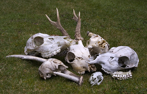Deer Skulls. Photo: Chris Moody Flicker Common Use.