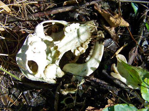 a key guide to mammal skulls and lower jaws