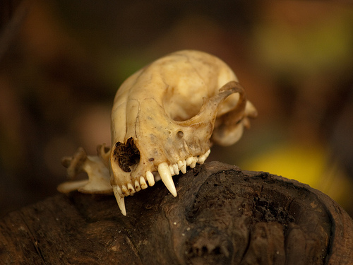 Raccoon Skull: Photo Scott Flemming Flicker Common Use.